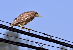 A night heron. This a night heron is resting on a high-tension cable Royalty Free Stock Photo