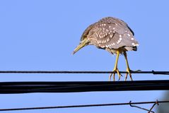 A night heron. This a night heron is resting on a high-tension cable Royalty Free Stock Photography