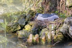 Night Heron Roosting On Nest. A night heron roosting on its nest by the water Stock Photos