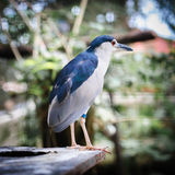 Night Heron's Portrait Royalty Free Stock Image
