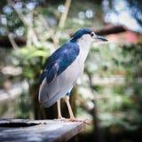 Night Heron's Portrait Royalty Free Stock Image