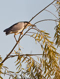A Night Heron´s red eyes Royalty Free Stock Image