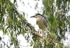 Night Heron Royalty Free Stock Photo