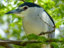 Night Heron at Shanghai wild animal park Stock Photo