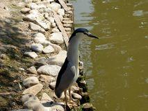 Night Heron at Shanghai wild animal park Royalty Free Stock Images