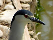 Night Heron at Shanghai wild animal park Royalty Free Stock Photography