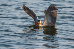Is night heron to catch fish Royalty Free Stock Photos