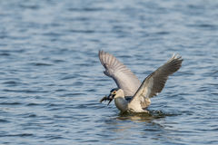 Is night heron to catch fish Royalty Free Stock Images