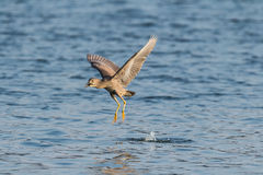 Is night heron to catch fish Stock Images