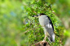 Night heron on tree branch Royalty Free Stock Photos