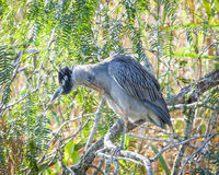 Night Heron in Tree Royalty Free Stock Photos