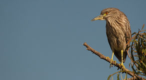 Night Heron In Tree Top. A Black-crowned Night Heron perched atop a tree in southern California Stock Image