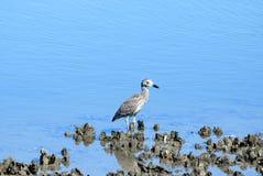 Night Heron Wading in Marshland Stock Image