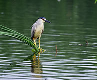 Night heron Royalty Free Stock Photography