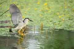 Night heron Stock Images