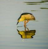 Night Heron Royalty Free Stock Image