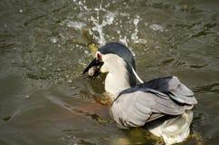 Night Heron was hunting Fish in a Lake Royalty Free Stock Photos