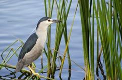 Night Heron was hunting Fish in a Lake Stock Photos