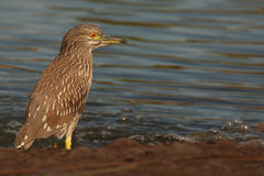 Night Heron Watching Water. A Black-crowned Night Heron, a nocturnal bird of prey, patiently watching the water for signs of prey Royalty Free Stock Image