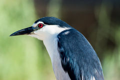 Night heron, white and gray Royalty Free Stock Images