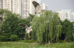 NIGHT HERONs BEIJING Stock Photography