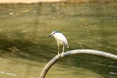 Night Herons Standing on pipe. Above water lake. bird with red eye Royalty Free Stock Images