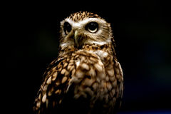 Night Hunter. Beautiful Owl isolated on black background Stock Photography