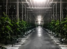 Night illumination tall cucumber bushes with ripening fruits cucumbers in a greenhouse of protected soil cubes watering drip stock photos