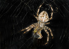 Night image of spider wrapping its victim. (wasp) up into the web for further eating Royalty Free Stock Photos