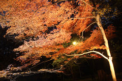 Night Japanese red maple tree Royalty Free Stock Photography