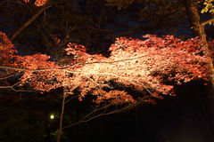 Night Japanese red maple tree Stock Photo