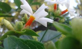 Night Jesmine,night-flowering jasmine stock photo