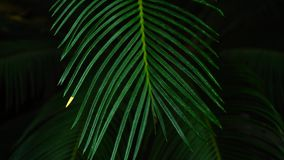 Night in jungles, beautiful palms plant with long leaves. Close-up shot of wonderful palms plant grows in night jungle. Green steam has long beautiful leaves stock footage