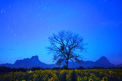 Night land scape of star tail on dark blue sky with dry tree branch and sunflowers field foreground Stock Photography