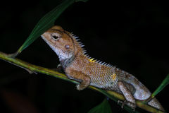Night macro shot of a lizard on a tree branch Royalty Free Stock Photos