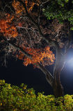 Night Maple Tree Royalty Free Stock Photo