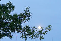 Night moon and tree Royalty Free Stock Image