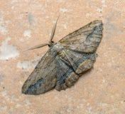 Night moth. Close up view of night brown moth stock image
