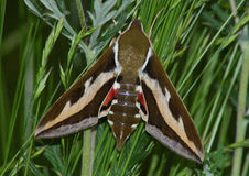 Free Night Moth (Hyles Gallii) Stock Photos - 10417503