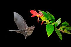Night nature, Pallas`s Long-Tongued Bat, Glossophaga soricina, flying bat in dark night. Nocturnal animal in flight with red feed. Flower. Wildlife action scene royalty free stock image