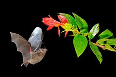 Night nature, Pallas`s Long-Tongued Bat, Glossophaga soricina, flying bat in dark night. Nocturnal animal in flight with red feed. Flower. Wildlife action scene royalty free stock photos