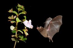 Night nature, Pallas`s Long-Tongued Bat, Glossophaga soricina, flying bat in dark night. Nocturnal animal in flight with red feed. Flower. Wildlife action scene stock image