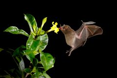 Night nature, Pallas`s Long-Tongued Bat, Glossophaga soricina, flying bat in dark night. Nocturnal animal in flight with red feed. Flower. Wildlife action scene stock photography