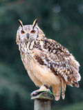Night Owl. Seen during a bird of prey exhibition Royalty Free Stock Photo