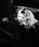 Night Owl. An Eagle Owl emerging from the darkness Royalty Free Stock Photo
