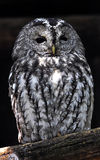 Night owl. On a dark background Stock Images