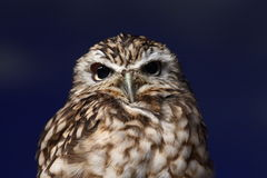 Night owl. The night owl is stand and look at me stock photos