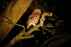 Night Owl. Owl at night in the trees Stock Images