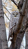 Night owl bird. Night owl bird on a background autumn forest Royalty Free Stock Images