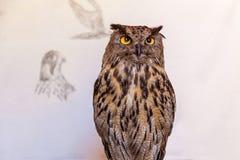 Night owl bird. Owl is posing on the white background,Night owl bird Royalty Free Stock Photography